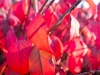 red-leaves-7837